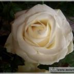 Trauer-Blumen_0127