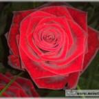 Trauer-Blumen_0143